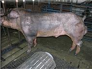 swine_ISCF